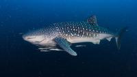 Whale shark (Rhincodon typus) swimming underwater