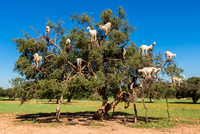 Goats perching on tree