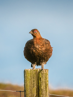 Chicken perching on fence post
