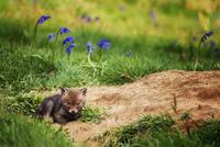 Baby red fox (Vulpes vulpes) lying in grass