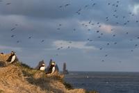 Atlantic puffin (Fratercula arctica) seabirds on hill on seashore