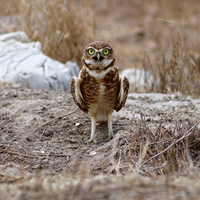 Little owl (Athene noctua) looking at camera