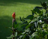 Red cardinal bird perching on post in garden
