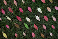 Background of autumn leaves in grass arranged in rows