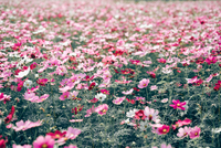 Pink daisy flower field