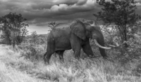 African elephant (Loxodonta) standing in grass
