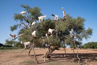 Goats climbing on tree