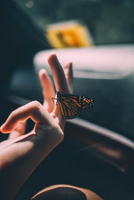 Monarch butterfly (Danaus plexippus) perching on finger