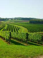 Green vineyard under clear sky