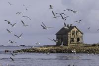 Flock of seagulls flying near abandoned house