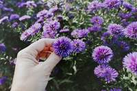 Hand holding purple aster flower