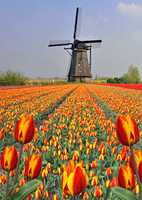 Tulip field against windmill