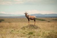 Antelope standing on hill in savannah
