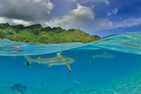 Sharks and other fishes swimming below water line, Moorea, French Polynesia, France