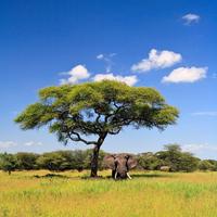 Elephant standing under acacia tree on sunny day, Tanzania