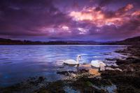 Mute swan(Cygnus olor)wimming in Loch Etive, Scotland, UK