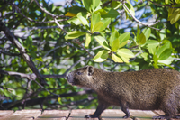 Desmarests hutia(Capromys pilorides)against tree, Cuba