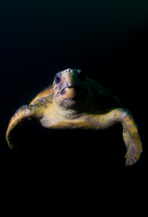 Sea turtle against black background, Mozambique