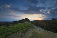Vineyard at sunset, Collio, Brescia, Italy