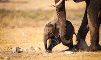 Mother and child elephant in Etosha National Park, Namibia