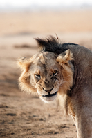 Young lion portrait, Kenya