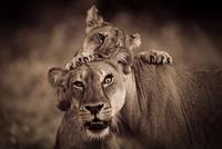 Young lion biting his mother, Matshatu, Botswana