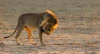 Lion standing in Kgalagadi Transfrontier Park, Botswana