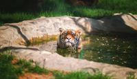 Siberian Tiger (Panthera tigris altaica) bathing in pond, Bulgaria