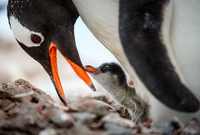 King penguins(Aptenodytes patagonicus)in nest