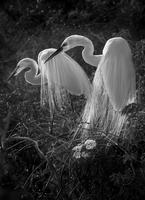 Black and white portrait of great egrets (Ardea alba), Florida, USA