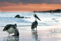 Two pelicans (Pelecanus) and sea