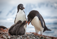 Adult Adelie penguins(Pygoscelis adeliae)with chicks, Antarctica