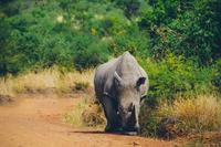 Rhinoceros (Rhinocerotidae) on dirt road