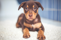 Portrait of Doberman Pinscher puppy, Hungary
