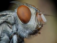 Extreme close up of fly, Abaetetuba, Brazil