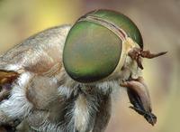 Extreme close up of Horse Fly, Abaetetuba, Brazil