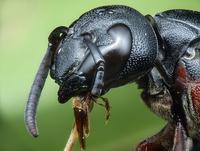 Close up of Wasp, Abaetetuba, Brazil