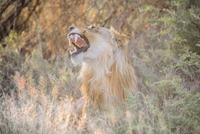 Lion (Panthera leo) roaring in Namutoni region of Etosha National Park, Namibia