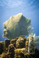 Knotted fan coral (Melithaea ochracea), Honduras