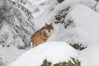 Wolf in snowy forest looking at camera, Bavarian Forest, Bavaria, Germany