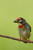 Barbet perching on twig against green background