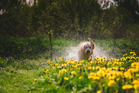 Yellow dandelion flowers and golden retriever shaking off water