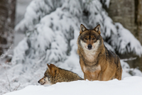 Two grey wolves(Canis lupus)in snow at Bavarian Forest, Bavaria, Germany