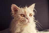 Wet white persian cat after bath 11098071798| 写真素材・ストックフォト・画像・イラスト素材|アマナイメージズ