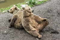 Brown bears sitting back to back