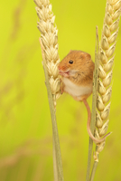 Brown mouse eating wheat