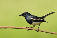 Black magpie bird perching on tree branch