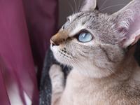 Portrait of blue-eyed cat