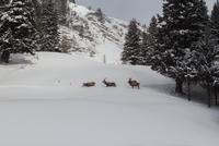 Wild deer(Cervidae)walking in snow, Bad Gastein, Austria