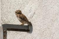 Little owl (Athene noctua) perching